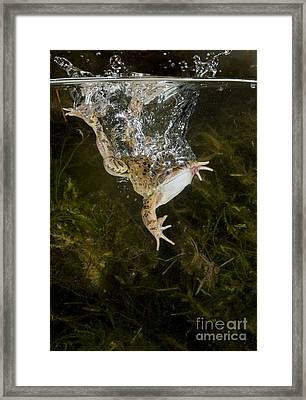 Common Frog Landing In Water Framed Print by Simon Booth