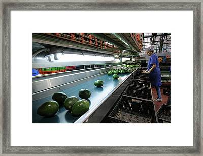 Computerized Avocado Packing Framed Print by Photostock-israel