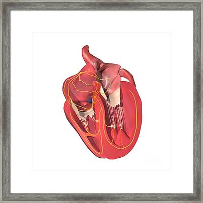 Conducting System Of The Heart Framed Print by Medical Images, Universal Images Group
