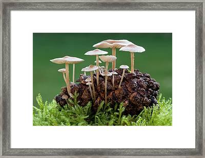 Conifer Cone Cap Fungus Framed Print