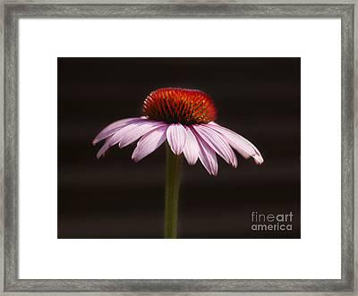 Cornflower Framed Print by Tony Cordoza