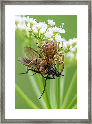 Crab Spider Framed Print by Heath Mcdonald