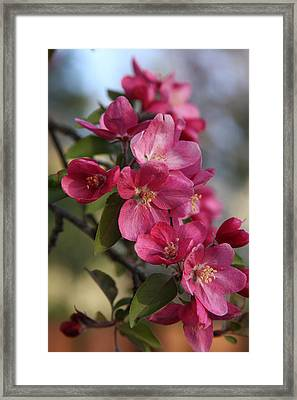 Crabapple Blossoms Framed Print by Vadim Levin