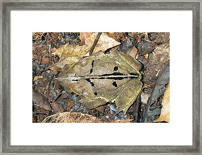 Crested Forest Toad Framed Print by Dr Morley Read