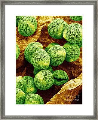 Sem Of Cucumber Pollen Framed Print by Susumu Nishinaga