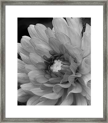 Dahlia In Black And White Framed Print by Bruce Bley