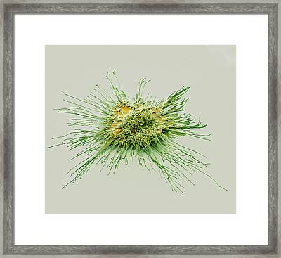 Dendritic Cell Framed Print by Steve Gschmeissner