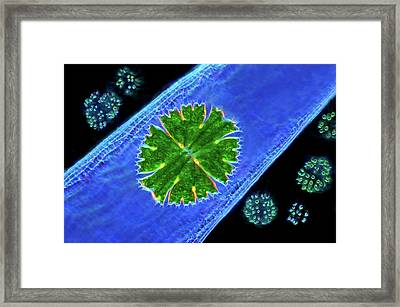 Desmid And Dictyosphaerium Green Algae Framed Print by Marek Mis
