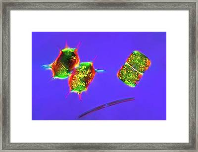 Desmids Framed Print