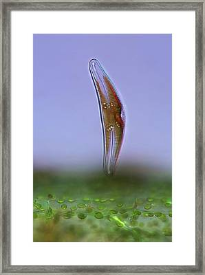 Diatom, Light Micrograph Framed Print by Science Photo Library