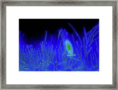 Diatoms And Red Algae Framed Print by Marek Mis