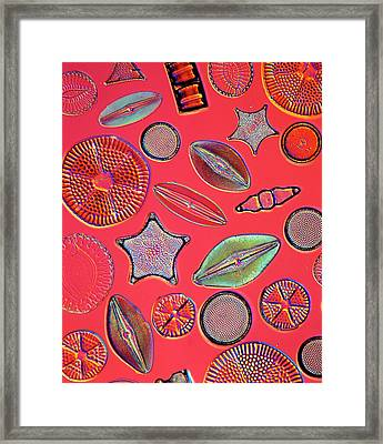 Diatoms Framed Print by Natural History Museum, London