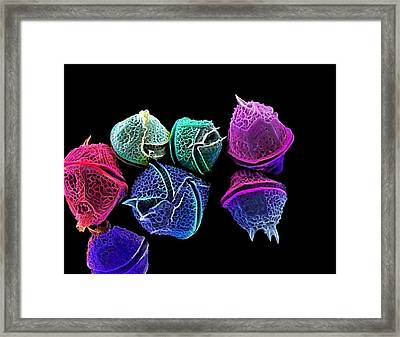 Diatoms, Sem Framed Print by Science Photo Library