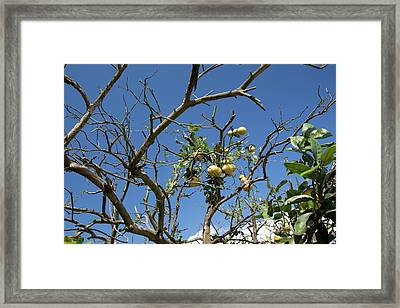 Diseased Grapefruit Tree Framed Print