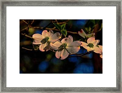 Framed Print featuring the photograph 3 Dogwoods On A Branch by John Harding