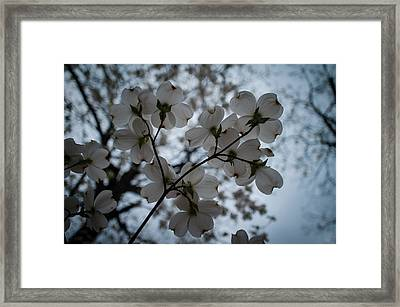 Framed Print featuring the photograph Dogwoods by Wayne Meyer