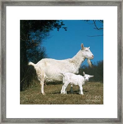 Domestic Goat Framed Print by Hans Reinhard