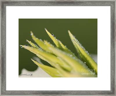 Dwarf Canna Lily Named Ermine Framed Print by J McCombie
