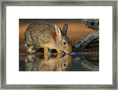 Eastern Cottontail (sylvilagus Framed Print by Larry Ditto