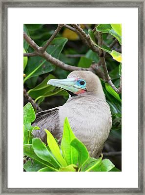 Ecuador, Galapagos Islands, Genovesa Framed Print