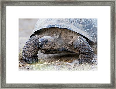 Ecuador, Galapagos Islands, Isabela Framed Print