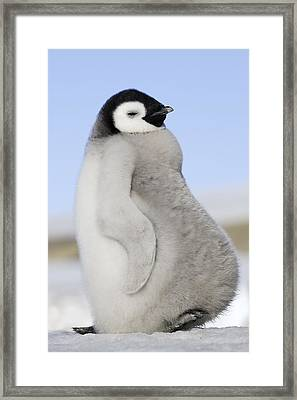 Emperor Penguin Chick Framed Print by M. Watson