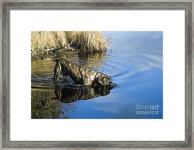 English Mastiff Framed Print