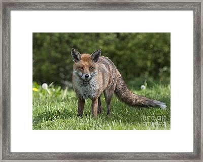 English Red Fox Framed Print
