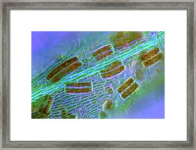 Epithemia Diatoms Framed Print by Marek Mis