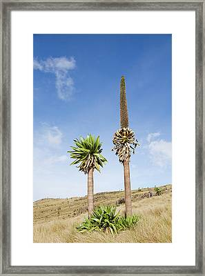 Ethiopian Giant Lobelia (lobelia Framed Print by Martin Zwick