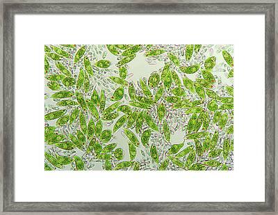 Euglena Protozoa Framed Print by Marek Mis