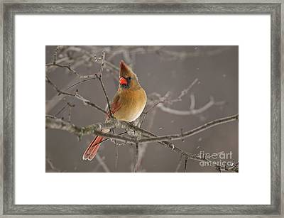 Female Northern Cardinal Framed Print by Michael Cummings
