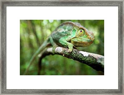 Female Parson's Chaemeleon Framed Print by Alex Hyde