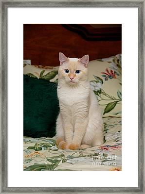 Flame Point Siamese Cat Framed Print by Amy Cicconi