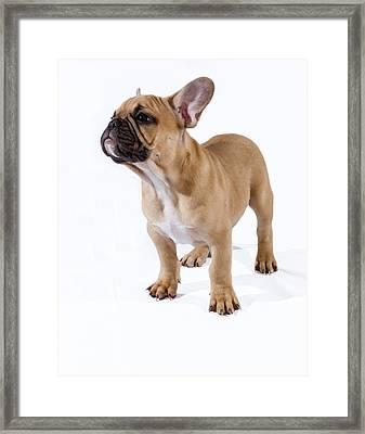 French Bulldog Pup Framed Print