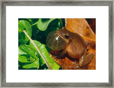 Frog Framed Print by David Davis