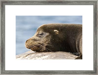 Galapagos Sea Lion Framed Print