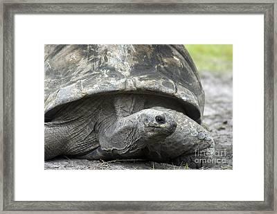 Galapagos Tortoise Framed Print