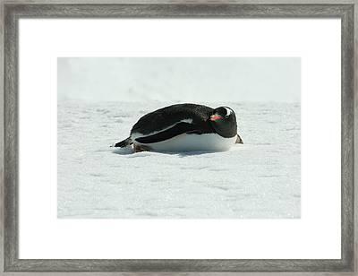 Gentoo Penguin Framed Print