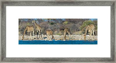 Giraffes Giraffa Camelopardalis Framed Print by Panoramic Images