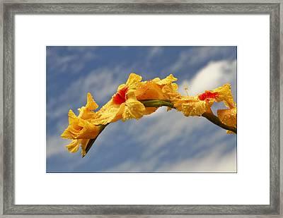 Gladiolas Framed Print by Geraldine Scull