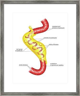 Glomerular Capsule Framed Print