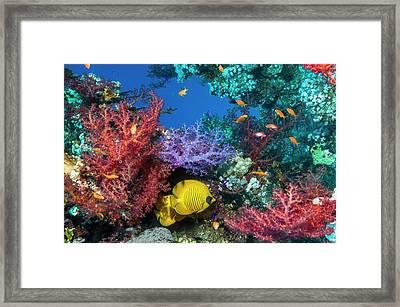 Golden Butterflyfish On A Reef Framed Print