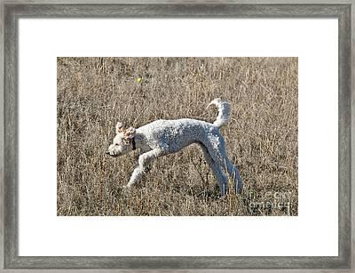 Goldendoodle Running Framed Print by William H. Mullins