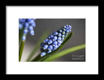 Hyacinths Framed Prints