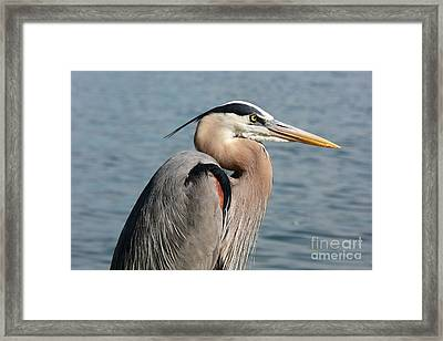 Great Blue Heron Profile Framed Print by Carol Groenen