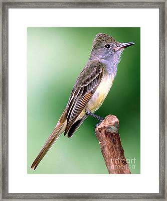 Great Crested Flycatcher Framed Print by Millard H. Sharp