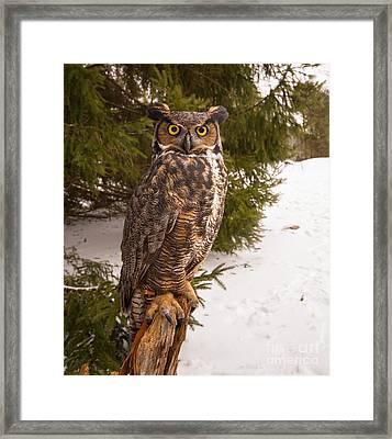 Great Horned Owl Framed Print by Simon Jones