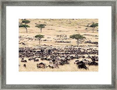 Great Migration Of Wildebeests, Masai Framed Print by Panoramic Images