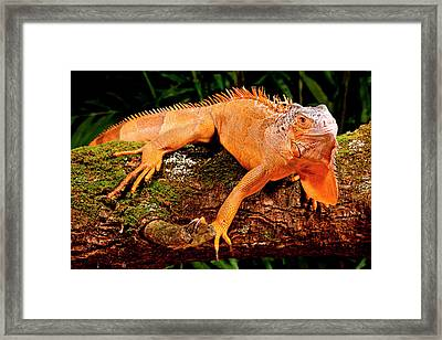 Green Iguana, Iguana Iguana, Native Framed Print by David Northcott